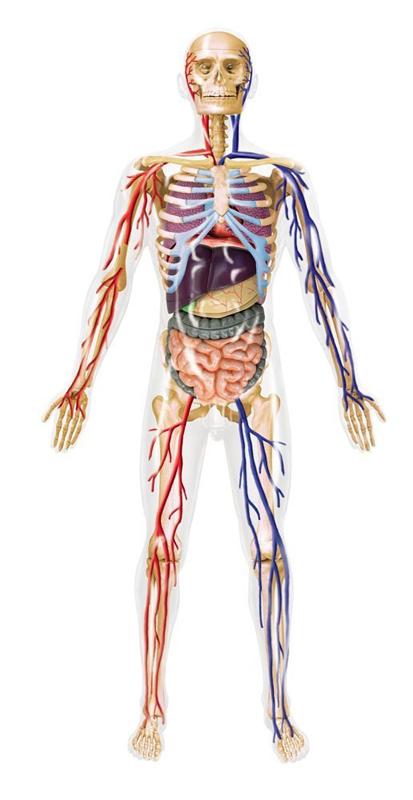 4d Master Human Anatomy 020 Transparent Human Body 60pcs 3d Puzzle
